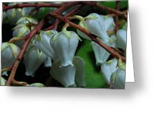 Japanese Pieris 2011-4 Greeting Card