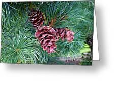 Japanese White Pine Pinecones Greeting Card