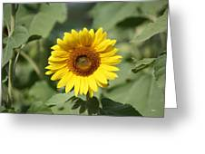 Jarrettsville Sunflowers - The Star Of The Show Greeting Card