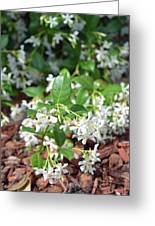 Jasmine In Bloom Greeting Card