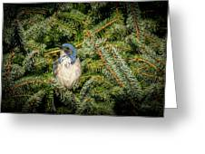 Jay In Tree Greeting Card