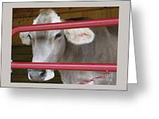 Jersey Calf Greeting Card