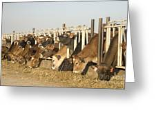 Jersey Cows Feeding Greeting Card