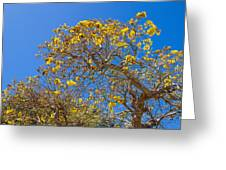 Jerusalem Thorn Tree Greeting Card
