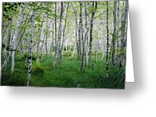 Jesup Path Birches Greeting Card