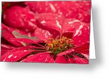 Jingle Bells 3 Poinsettia Greeting Card