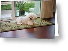 Jolie The Bichon Frise Greeting Card by Michael Ledray