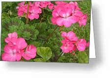 Joyful Geranium  Greeting Card