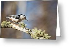 Jump - White-breasted Nuthatch Greeting Card