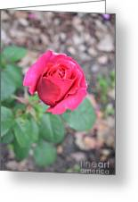 June Rose #5 Greeting Card