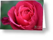 June Rose #8 Greeting Card