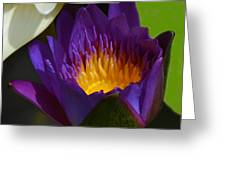 Just Opening Purple Waterlily -  Square Greeting Card