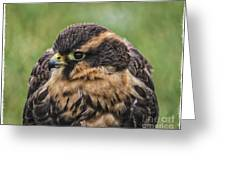 Juvenile Aplomado Falcon Greeting Card