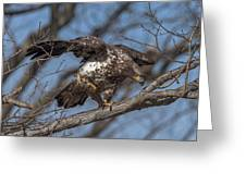 Juvenile Bald Eagle With A Fish Drb0218 Greeting Card