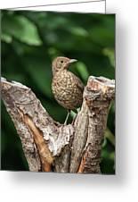Juvenile Black Bird Turdus Merula Fledgling In Tree Stump In For Greeting Card