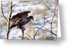 Juvenile Eagle Taking Off   Greeting Card