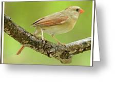 Juvenile, Female Cardinal, Animal Portrait Greeting Card