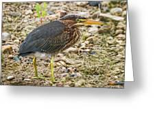 Juvenile Green Heron Greeting Card