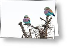 Juvenile Lilac Breasted Roller Greeting Card