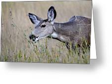 Juvenile Mule Deer Feeding Greeting Card