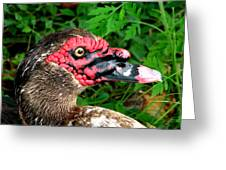 Juvenile Muscovy Duck Greeting Card