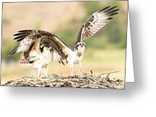 Juvenile Osprey Testing Their Wings Greeting Card