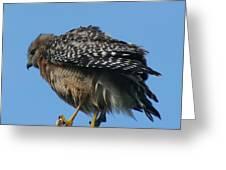 Juvenile Red-shouldered Hawk Greeting Card