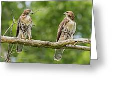 Juvenile Red-tailed Hawks Eyeing Each Other Greeting Card