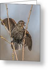 Juvenile Red Winged Blackbird Greeting Card