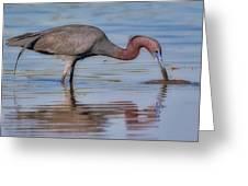 Juvenile Reddish Egret Greeting Card