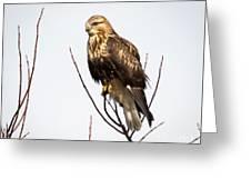 Juvenile Rough-legged Hawk  Greeting Card