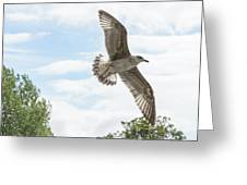 Juvenile Seagull In Flight Greeting Card