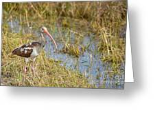 Juvenile White Ibis In The Everglades Greeting Card