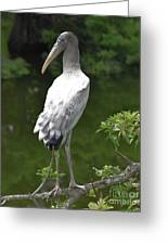 Juvenile Wood Stork Greeting Card