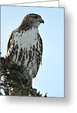 Juvi Red Tail Hawk Greeting Card