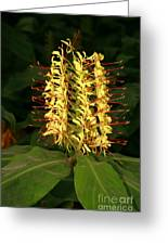 Kahili Ginger Greeting Card