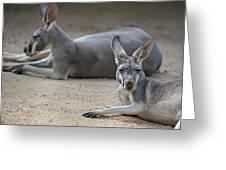 Kangaroo Relaxing On Ground In The Sun Greeting Card
