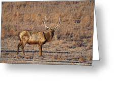 Kansas Elk Greeting Card