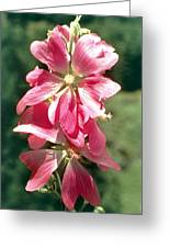 Kashmir Tree Mallow  Greeting Card