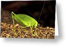 Katydid Close Up Bug Greeting Card