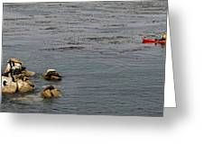 Kayakers And Seal Lions Greeting Card