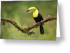 Keel Billed Toucan Perched On A Branch In The Rain Forest Greeting Card