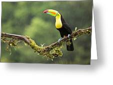 Keel-billed Toucan Perched Under The Rai Greeting Card