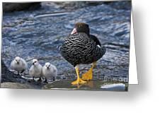 Kelp Goose With Goslings Greeting Card