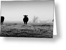 Kentucky Cows Greeting Card