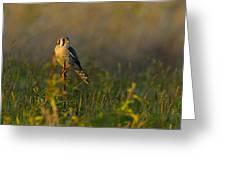 Kestrel In Meadow Greeting Card
