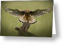 Kestrel On Final Approach Greeting Card
