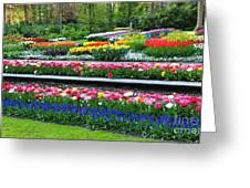 Keukenhof Tulips Ornamental Garden  Greeting Card