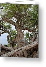 Kiawe Tree Greeting Card