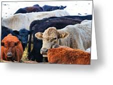 Kibler Valley Cows Greeting Card